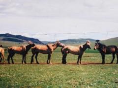 Аймгийн Алдарт уяач Г.Хаянхярваа: Хонгор халзан морь маань 20 хүртлээ уралдсан